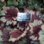 100_1311.jpg (Begonia rex (King begonia))
