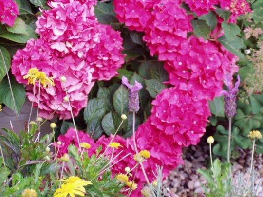 Bright Spot on a dull day (Hydrangea macrophylla)