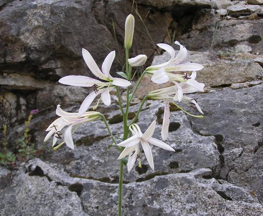 Could be Cascade Lily; Washington Lily (lilum washingtonianum)