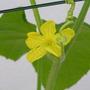 Cucumber_flower2
