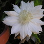 White_clematis