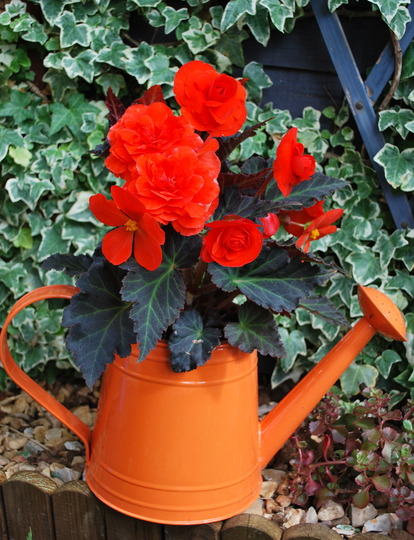 Begonia in waterng can..... (Begonia)