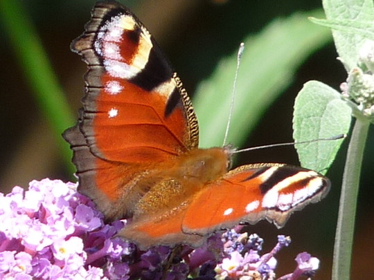 Peacock butterfly enjoying the sun.