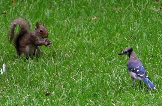 squirrel and bluejay
