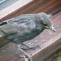 newly fledged starling