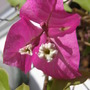 whats this called? (Bougainvillea glabra.)