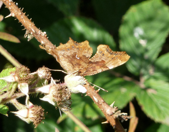 Comma butterfly - underwing.