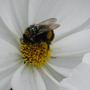 Cosmos with hungry Bee