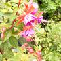 Fushia Beckie Lou (Fuchsia magellanica (Hardy fuchsia))
