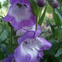 Penstemon_czar_