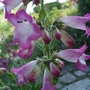Penstemon_pensham_laura_
