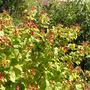 Hypericum calycinum (Rose of Sharon)