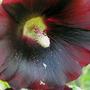 "Alcea rosea ""Black Knight"" - Close Up (Alcea rosea (Black Hollyhock))"