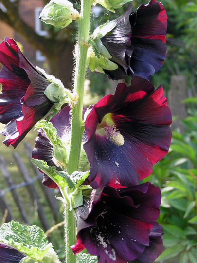 Alcea rosea 'Black Knight' (Alcea rosea (Black Hollyhock))