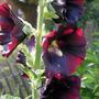 A.rosea_black_knight_23_7_1