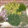 Sedum rupestre (Sedum rupestre)