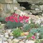 rockery plants 1