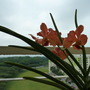 Orange with pink orchids (vanda/aranda hybrid)