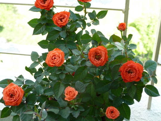 Mini orange red roses