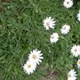 Osteospermum - Cape Daisy (Osteospermum)