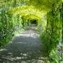 common Laburnum at Hampton Court  - London  May 2004