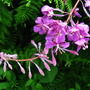 Woodland flower (Epilobium angustifolium (Rosebay willowherb))