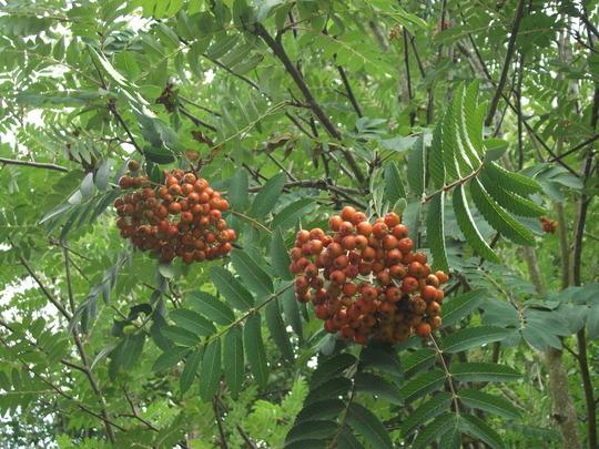 Sorbus aucuparia  (Sorbus aucuparia (Mountain ash))