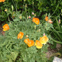 Welsh Poppy Meconopsis cambrica  (Meconopsis Cambrica)