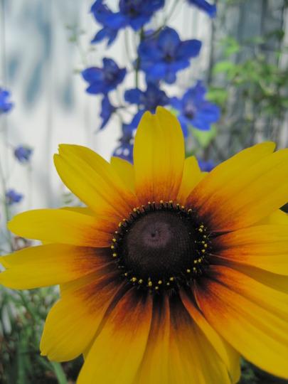 Black eyed Susans (Rudbeckia fulgida (Black-eyed Susan))