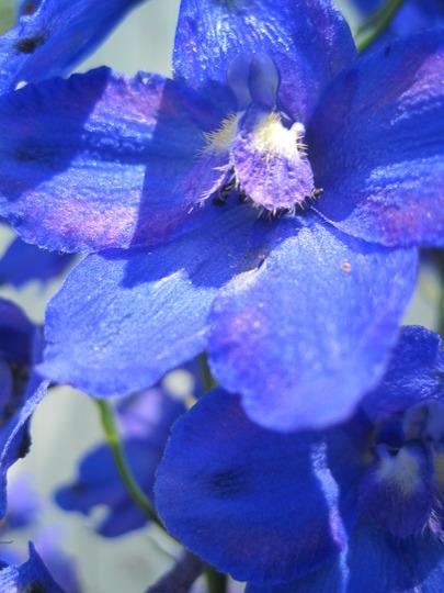 closeup of the blues (Delphinium elatum (Delphinium))