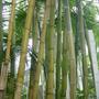 bamboo in Kew Gardens - May 2004