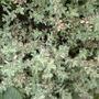 Thyme Silver Posie (Thymus)