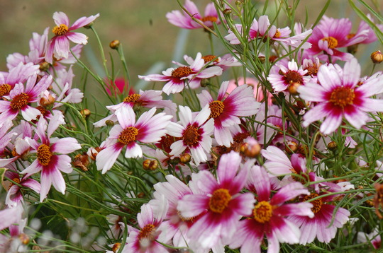 Coreopsis 'Sweet Dreams' (Coreopsis)