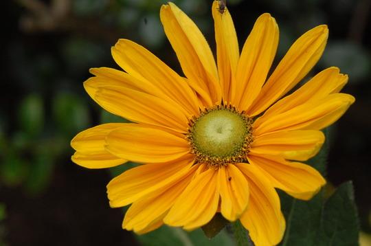 Rudbeckia 'Irish Spring' (Rudbeckia)