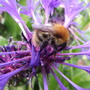 Bee on Centaurea Montana Plant