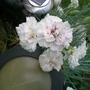 Dianthus (Alan Titchmarsh)