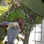 Musa 'Mysore' - Mysore Bananas with male flowers (Musa 'Mysore' - Mysore Bananas)