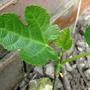 young fig (Ficus carica.)