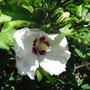 Hibiscus_syriacus_red_heart_2010