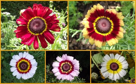 Chrysanthemum Carinatum: Painted daisy