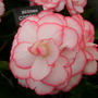 Begonia Correl