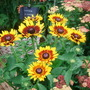 Yellow Echinacea