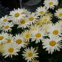 Ox eye Daisies
