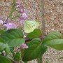 green veined white butterfly male