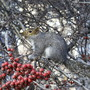 a squirrel eating something (Chicago,  November 1999)