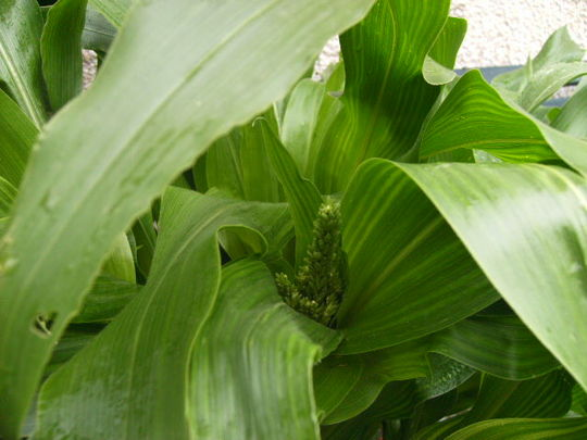 Sweetcorn just showing