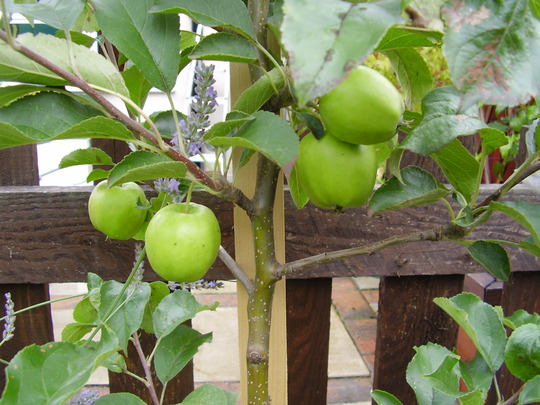 bonnie pink lady apple tree