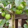 bonnie pink lady apple tree