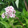 pale pink phlox from hywel,