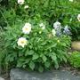white dahlia
